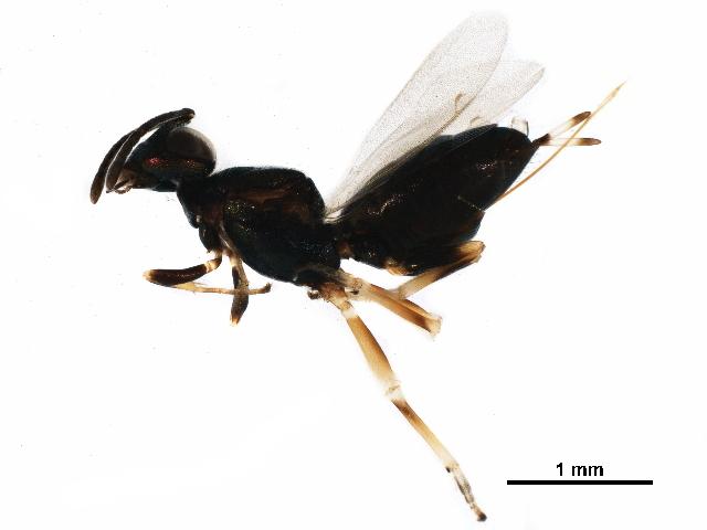 Image of <i>Eupelmus n</i>