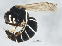 Image of Odynerus