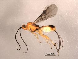 Image of Therophilus Wesmael 1837