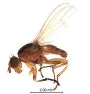 Image of <i>Ditaeniella grisescens</i>