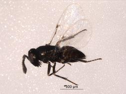 Image of <i>Copidosoma primulum</i> (Mercet 1921)