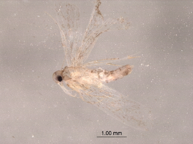 Image of Bedelliidae
