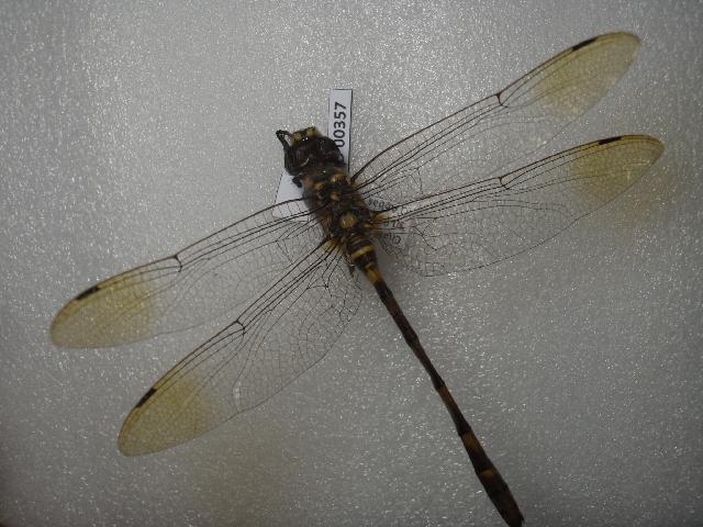 Image of Epophthalmia Burmeister 1839