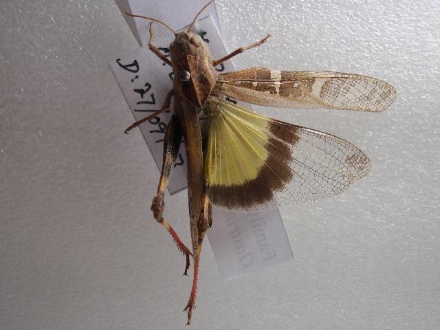 Image of <i>Gastrimargus <i>africanus</i></i> africanus (Saussure 1888)