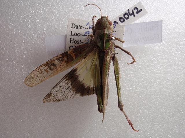 Image of <i>Gastrimargus africanus sulphureus</i> Bey-Bienko 1951