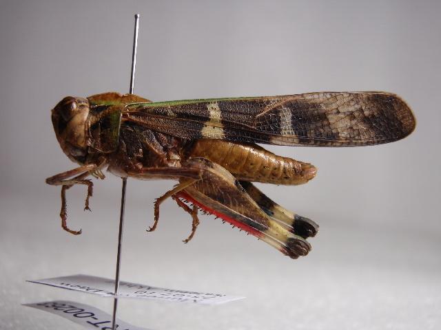 Image of Gastrimargus