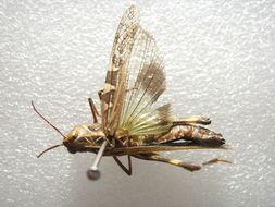 Image of Oedaleus