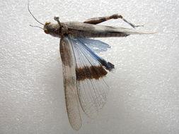 Image of <i><i>Sphingonotus</i></i> (Sphingonotus) <i>longipennis</i> Saussure 1884