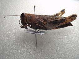 Image of Calliptamus