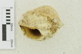 Image of Vasum