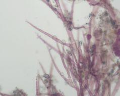 Image of <i>Scagelia</i>