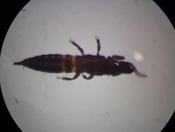 Image of <i>Apterygothrips pellucidus</i> (Ananthakrishnan 1968)