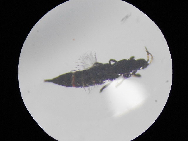 Image of <i><i>Haplothrips</i></i> (Haplothrips) <i>reuteri</i> (Karny 1907)