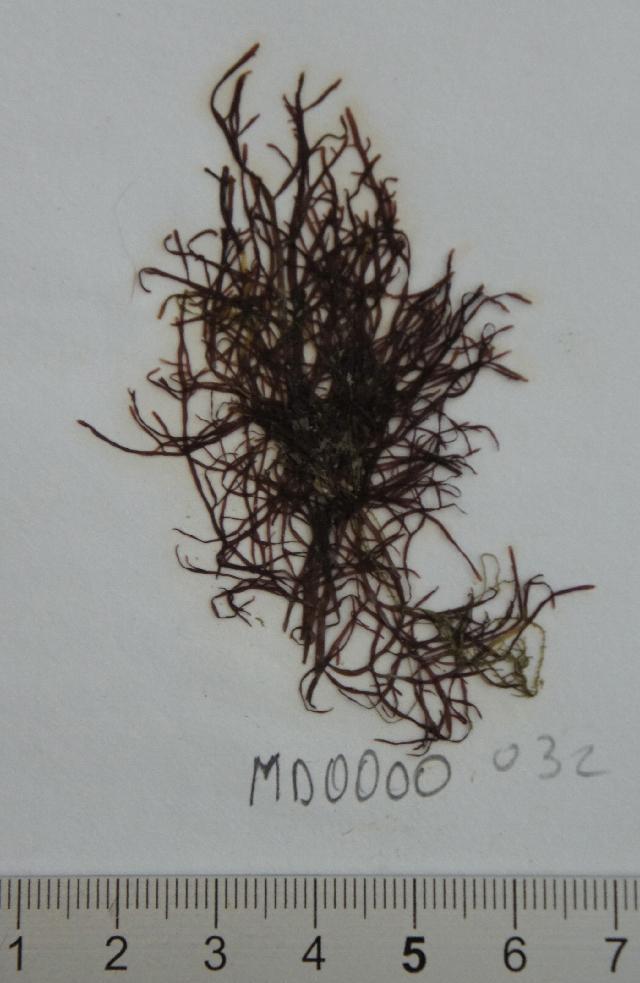 Image of Pterocladiaceae