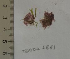 Image of Pleonosporium
