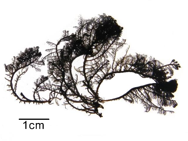 Image of <i>Bostrychia montagnei</i>