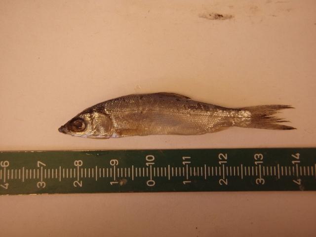 Image of Gonorynchiformes