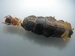 Image of <i>Caenota plicata</i> Mosely ex Mosely & Kimmins 1953