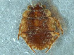 Image of Ochterus