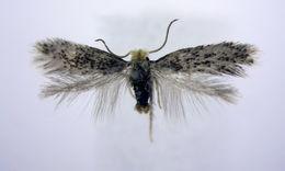 Image of <i>Ectoedemia canutus</i> Wilkinson & Scoble 1979