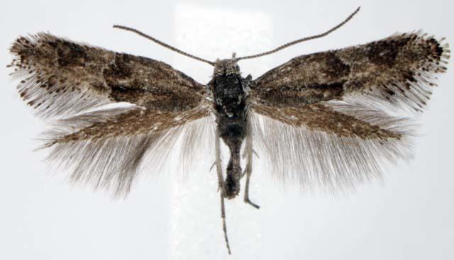 Image of <i>Tinagma pulverilineum</i>