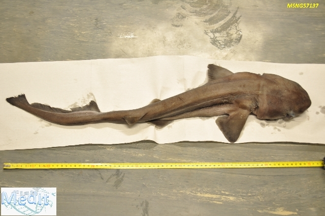 Image of cow sharks