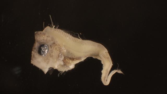 Image of Regalecus