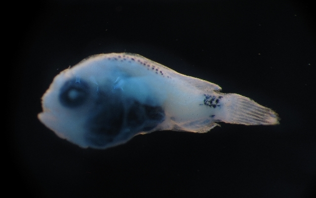 Image of Dolopichthys