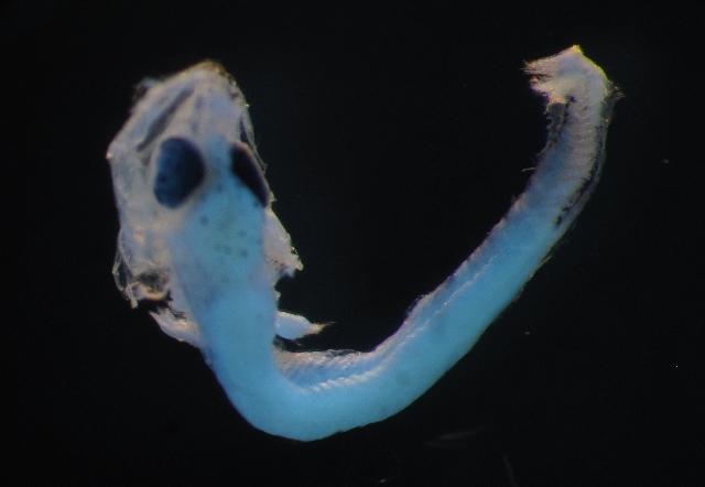 Image of Tetragonurus