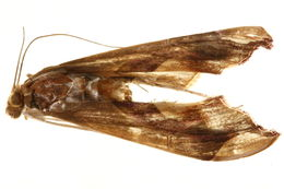 Image of <i>Agathodes musivalis</i> Guenée 1854