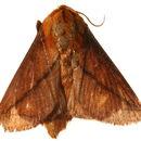 Image of Ctenolita