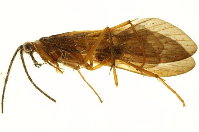 Image of Dipseudopsidae