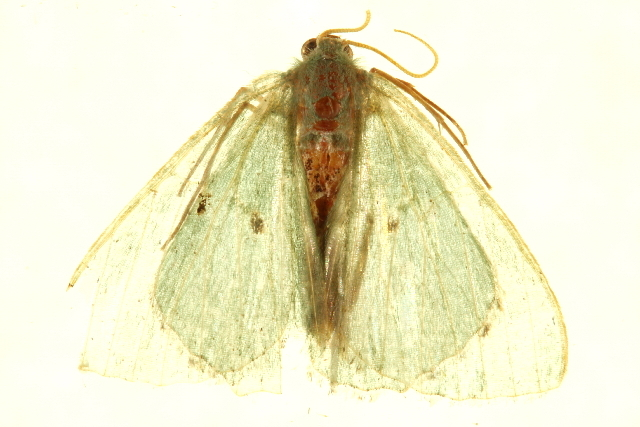 Image of Lophostola