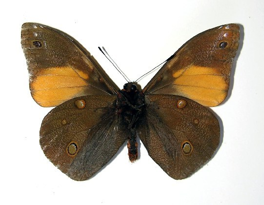Image of <i>Brassolis granadensis isidrochaconi</i>