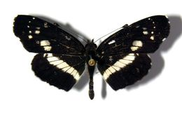Image of <i>Castilia ofella</i> Hewitson 1864