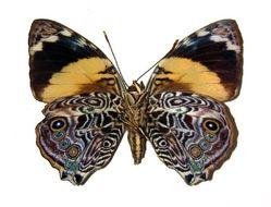 Image of Blomfild's Beauty