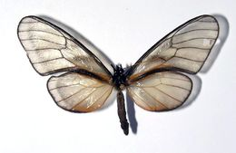 Image of Klug's Clearwing