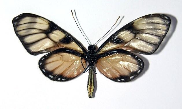 Image of <i>Dircenna euchytma</i> Felder & Felder 1865