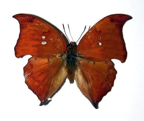 Image of <i>Zaretis elianahenrichae</i>