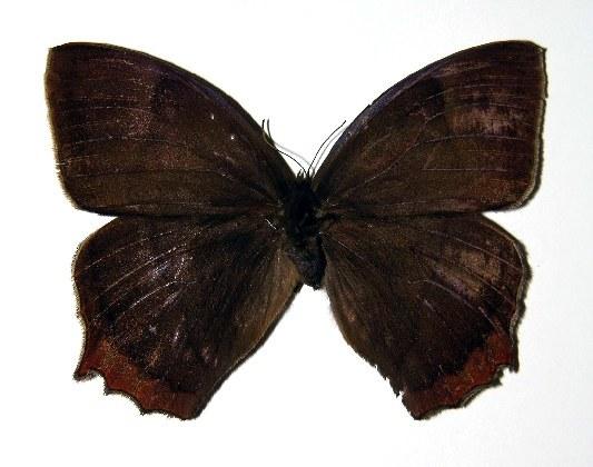 Image of Taygetis