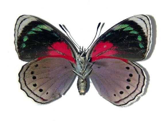 Image of <i>Mesotaenia barnesi</i> (Schaus 1913)