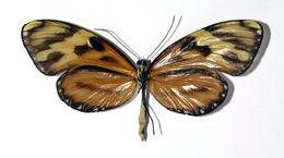 Image of <i>Ceratinia tutia</i> Hewitson 1852