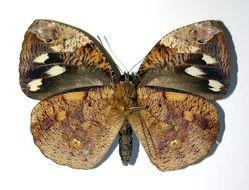 Image of <i>Dynastor darius</i> Fabricius 1775