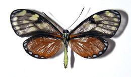 Image of <i>Pteronymia picta</i> Salvin 1869