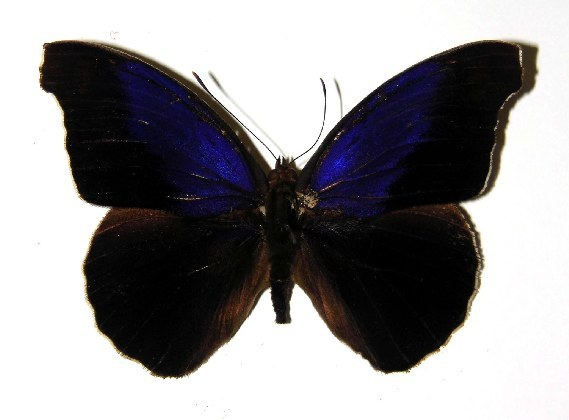 Image of <i>Eunica caresa</i> Hewitson 1857
