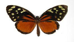 Image of <i>Tithorea helicaon</i> Godman & Salvin 1879