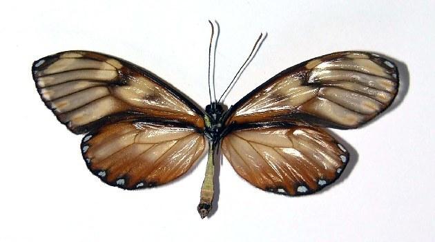 Image of <i>Pteronymia fulvimargo</i> Butler & Druce 1872