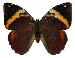 Image of <i>Opsiphanes fabricii</i> Boisduval 1870
