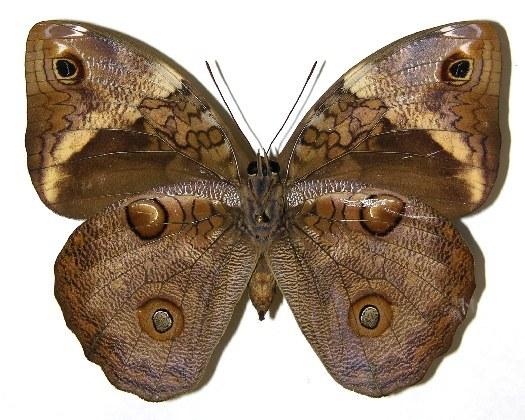 Image of <i>Opsiphanes tamarindi</i> Felder 1861