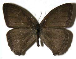 Image of <i>Megeuptychia antonoe</i> Cramer 1779
